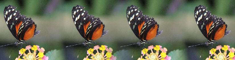 troostvlinder